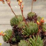 Echeveria calderoniae