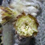 Espostoa melanostele - Peruvian Old Lady