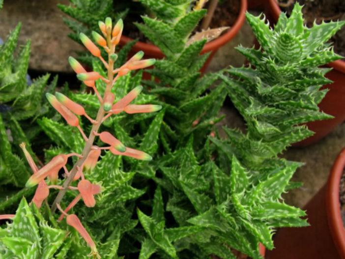 Low Maintenance Succulents (Aloe juvenna)