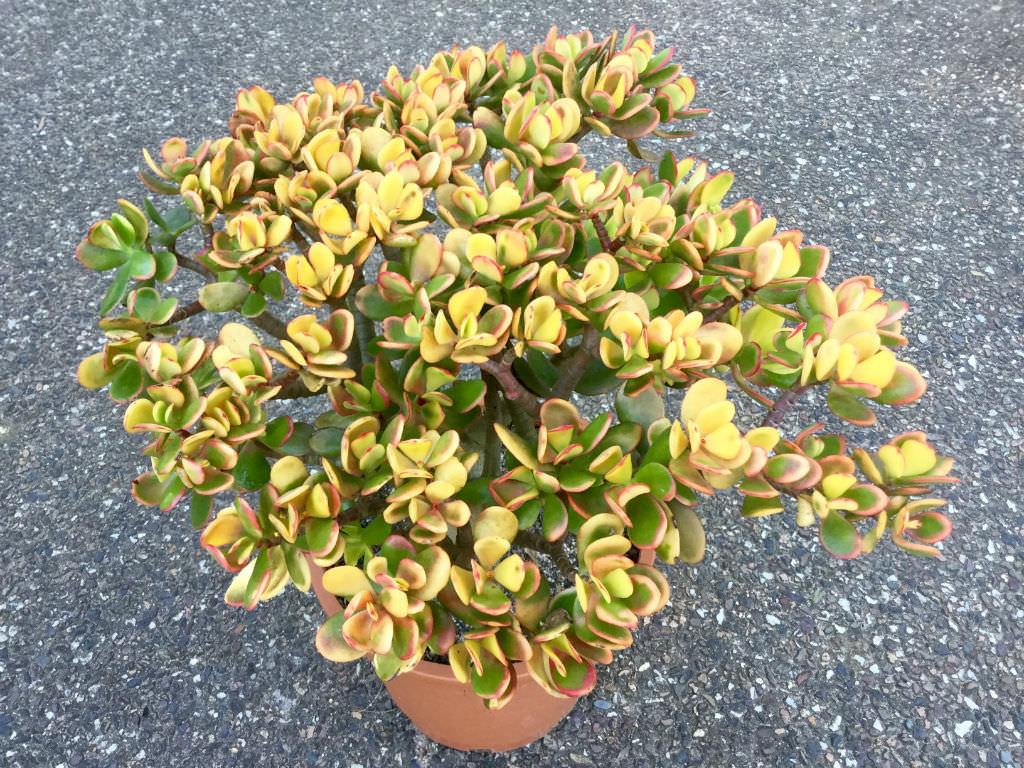 Low Maintenance Succulents (Crassula ovata 'Hummel's Sunset')