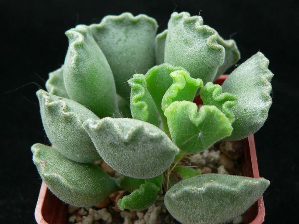 Low Maintenance Succulents (Adromischus cristatus)