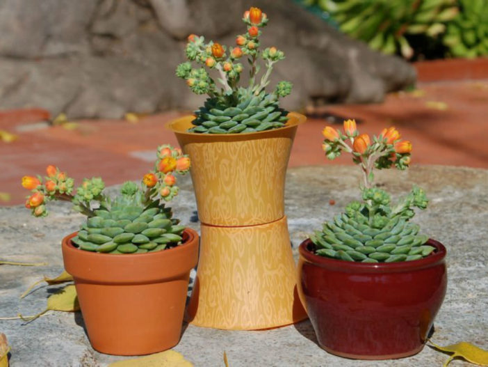 Low Maintenance Succulents (Echeveria 'Dondo')
