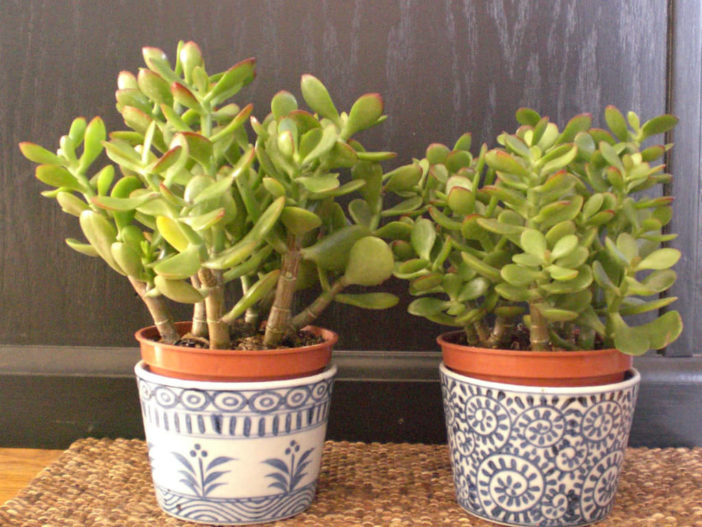 Most Common Indoor Cacti and Succulents (Crassula ovata)