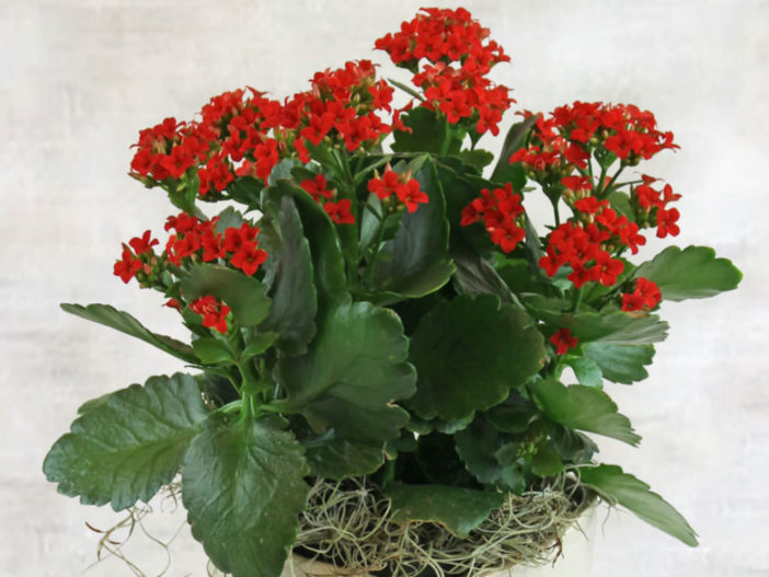 Most Common Indoor Cacti and Succulents (Kalanchoe blossfeldiana)