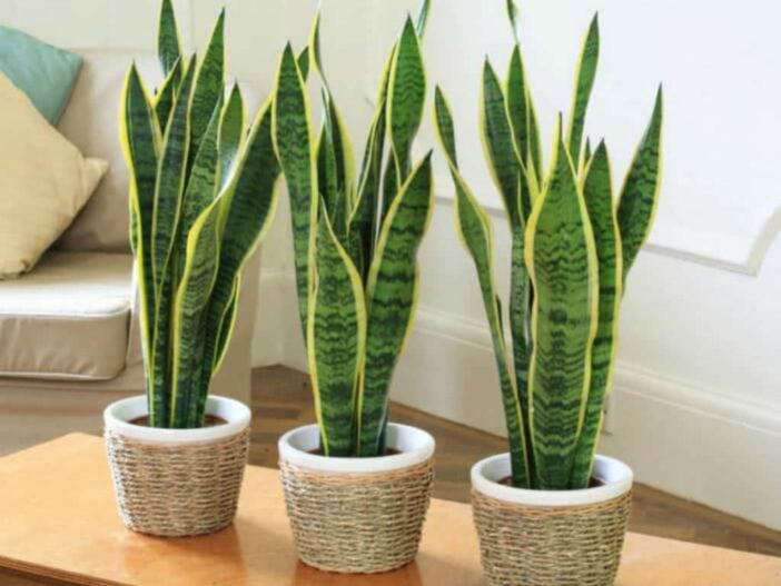 Most Common Indoor Cacti and Succulents (Sansevieria trifasciata)