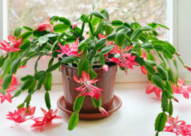 When and How to Repot a Christmas Cactus