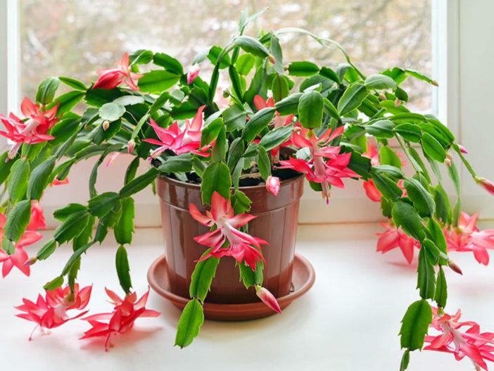 Repotting Christmas Cactus