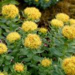 Rhodiola rosea - Golden Root