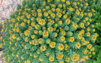 Rhodiola rosea Health Benefits