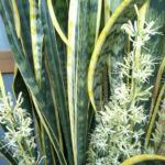 Sansevieria trifasciata 'Laurentii' - Striped Mother-in-law's Tongue