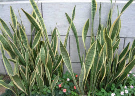 Sansevieria trifasciata 'Laurentii' – Striped Mother-in-law's Tongue
