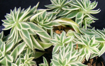 Sedum lineare 'Variegatum' (Cream and Green Carpet Sedum)