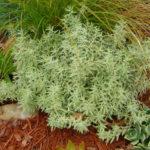 Sedum lineare 'Variegatum' - Cream and Green Carpet Sedum