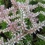 Sedum pulchellum - Widow's Cross