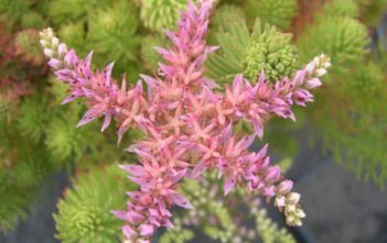 Sedum pulchellum (Widow's Cross)