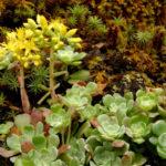 Sedum spathulifolium (Broadleaf Stonecrop)