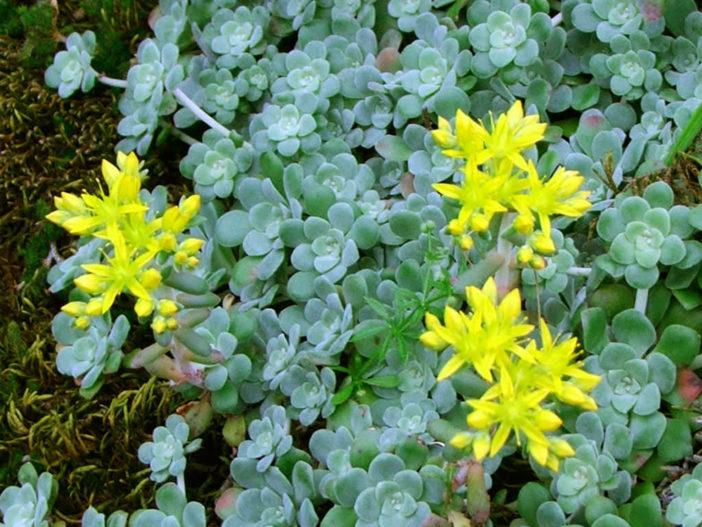Sedum spathulifolium - Broadleaf Stonecrop