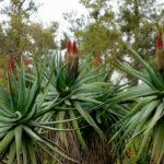 Aloe speciosa - Tilt-head Aloe