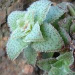 Crassula setulosa - Hairy Cushion Crassula
