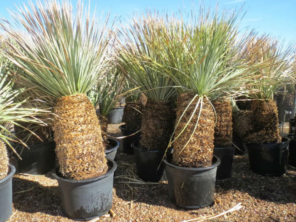 Dasylirion wheeleri - Desert Spoon | World of Succulents