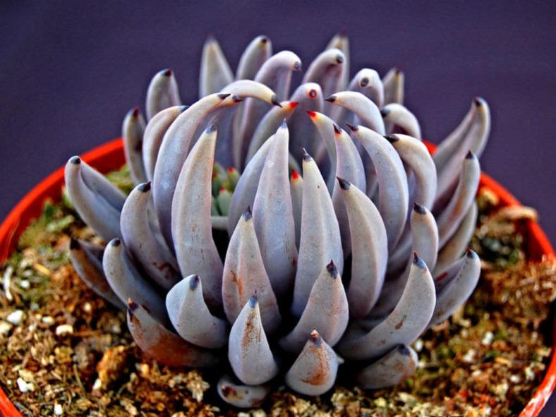 Echeveria unguiculata