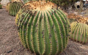 Echinocactus platyacanthus (Giant Barrel Cactus)