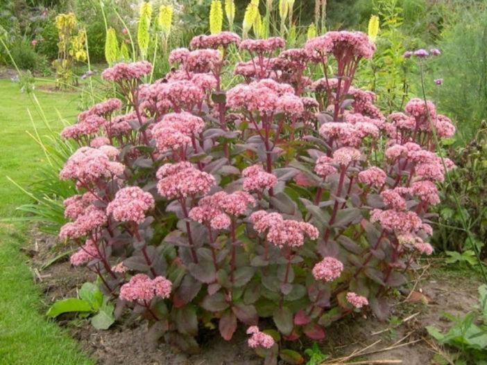 Hylotelephium telephium 'Matrona' - Autumn Stonecrop