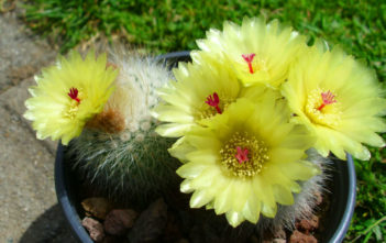 Parodia scopa - Silver Ball Cactus