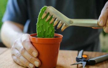 Prickly Pear Cactus Cuttings