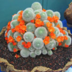 Rebutia muscula - Orange Snowball