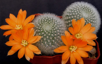 Rebutia muscula - Orange Snowball