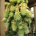 Sedeveria 'Harry Butterfield' - Super Donkey Tail