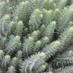 Sedum rupestre 'Blue Spruce' - Blue Spruce Stonecrop