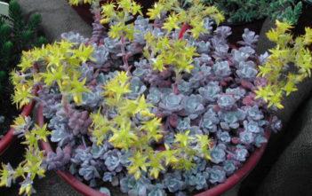 Sedum spathulifolium 'Purpureum' - Purple Broadleaf Stonecrop