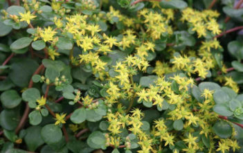 Sedum tetractinum 'Coral Reef' - Chinese Sedum