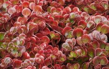 Sedum tetractinum 'Coral Reef' (Chinese Sedum)