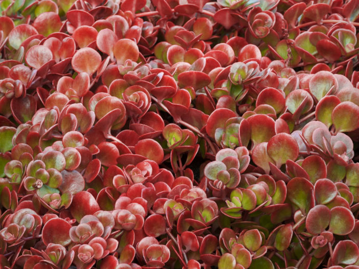 Sedum tetractinum 'Coral Reef' (Chinese Sedum)