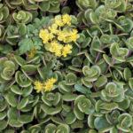 Sedum tetractinum 'Coral Reef' - Chinese Sedum