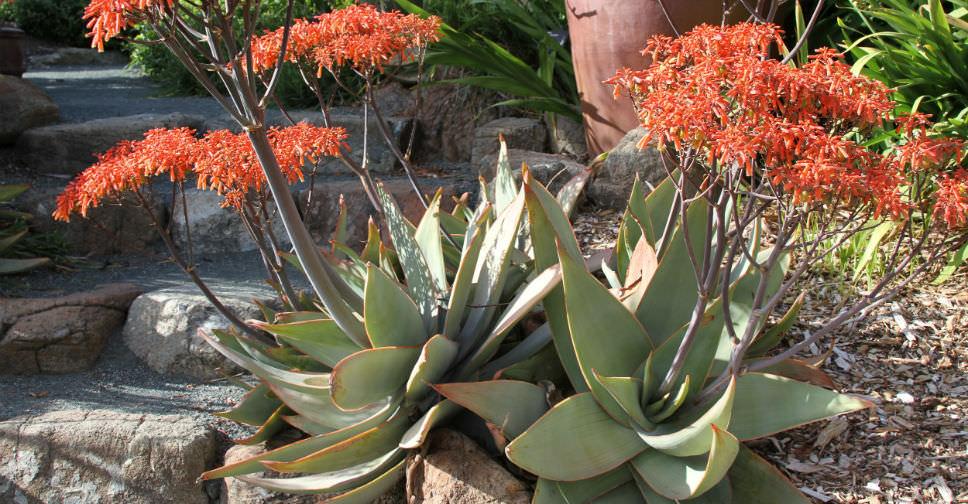 Aloe striata coral aloe world of succulents - Variedades de aloe vera ...