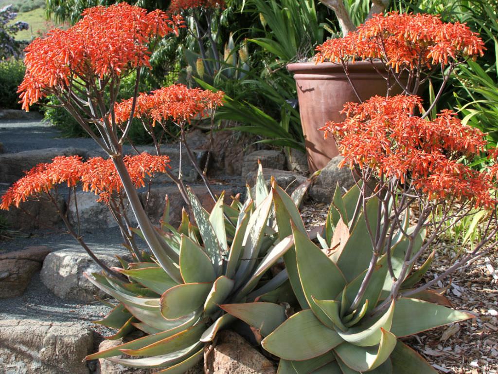 Very Cute Aloe Striata Coral Succulent