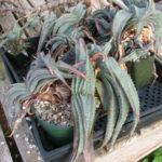 Aloe suprafoliata - Book Aloe