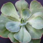 Echeveria 'White Rose'