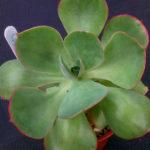 Echeveria 'White Rose'
