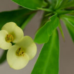 Euphorbia milii f. lutea (Yellow Crown of Thorns)