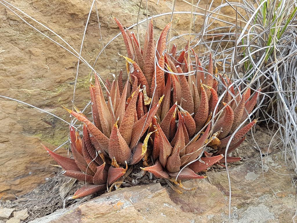 Haworthiopsis venosa (Breede Haworthia) aka Haworthia venosa