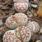 Lithops karasmontana - Karas Mountains Living Stone