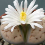 Lithops karasmontana - Karas Mountains Living Stone