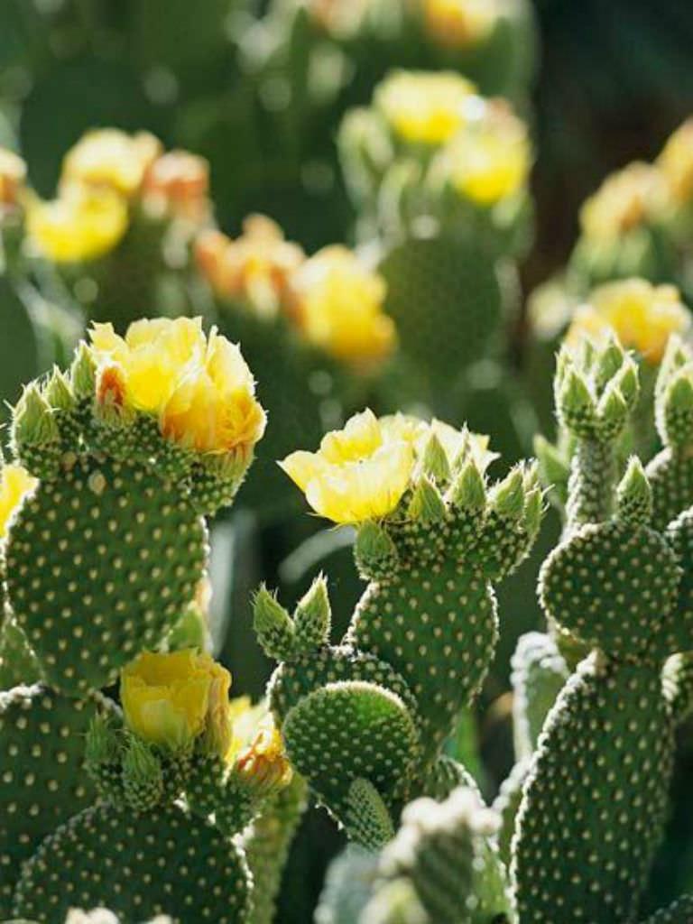 Opuntia Microdasys Var Pallida Bunny Ears Cactus World Of