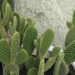 Opuntia microdasys var. pallida - Bunny Ears Cactus