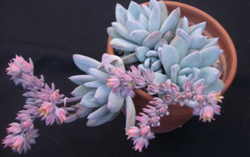 Pachyveria 'Powder Puff'